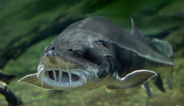 білуга ВАРТІСТЬ риба