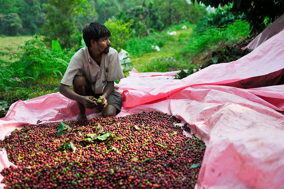 Процес збору індійської кави