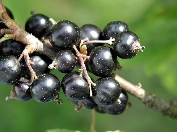 Інгредієнти для вина з чорної смородини