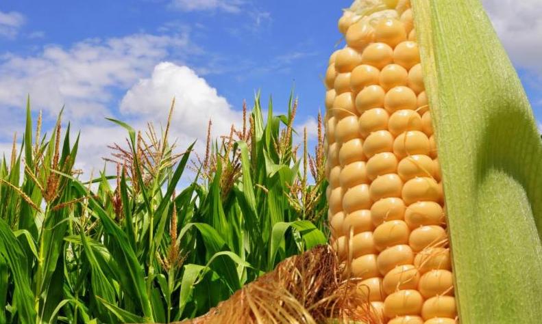 Высокий урожай кукурузы