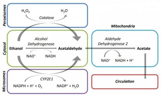 Метаболічний шлях елімінації алкоголю у людей