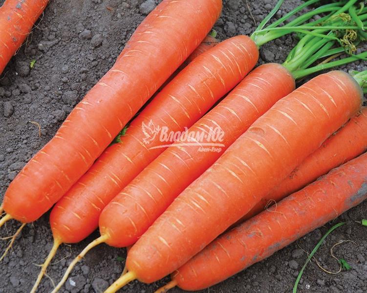Огромный урожай моркови выращенный из семян Clause