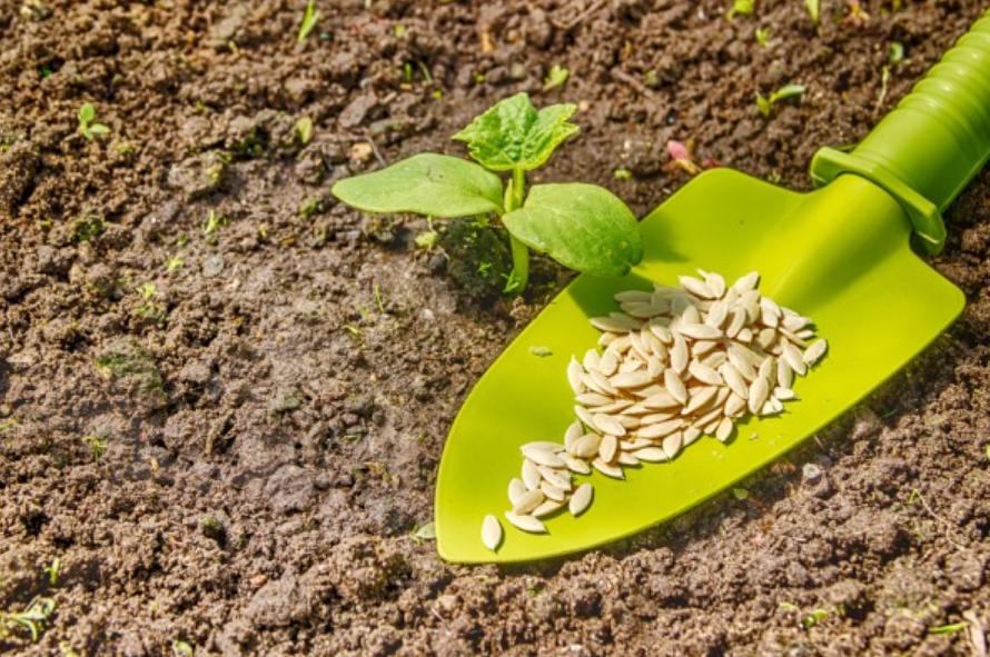 Качественные семена огурцов для посадки