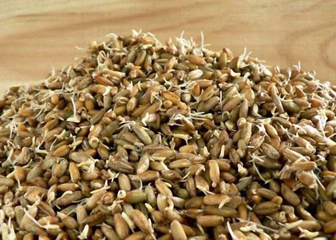Житнє зерно проростити