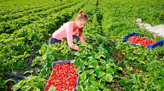 Работа для пар: сбор клубники хорошего урожая в Польше