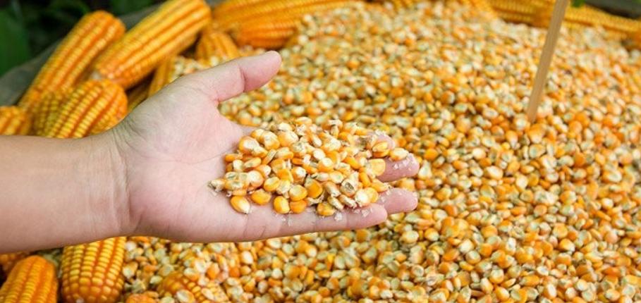 Семена кукурузы для посева весной