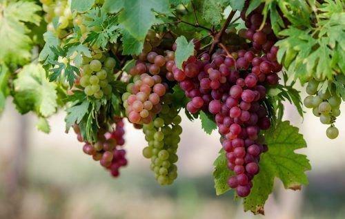 Скільки цукру міститься у винограді