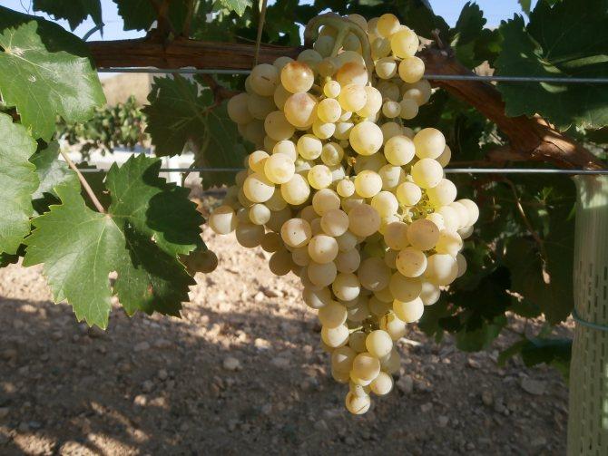 'Сорт білого винограду