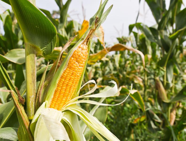 Сбор урожая среднеспелого сорта кукурузы