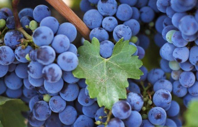 Старовинна виноградна наливка на горілці