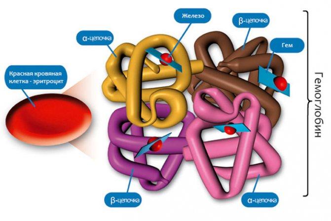 структура гемоглобіну