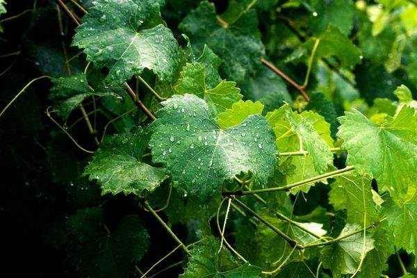 вино з винограду Ізабелла шкоду и Користь