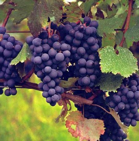 вино Сапераві