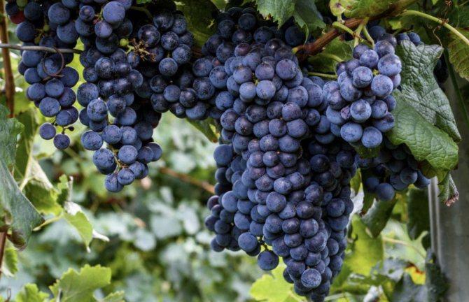 Виноград Ізабелла