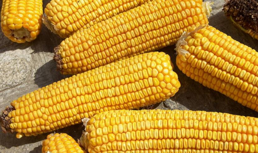 Зубовидный сорт кукурузы